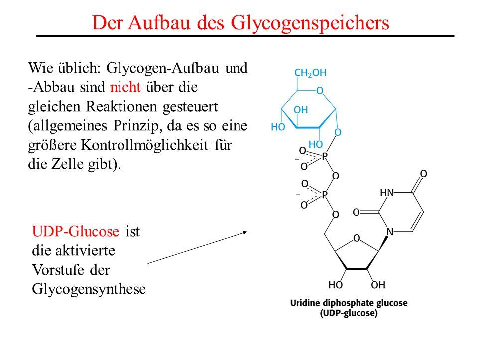 Der Aufbau des Glycogenspeichers