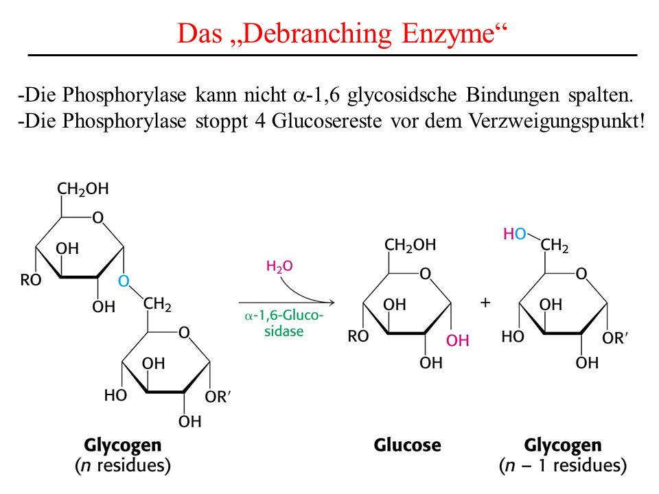 "Das ""Debranching Enzyme"