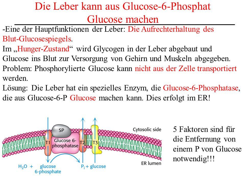 Die Leber kann aus Glucose-6-Phosphat