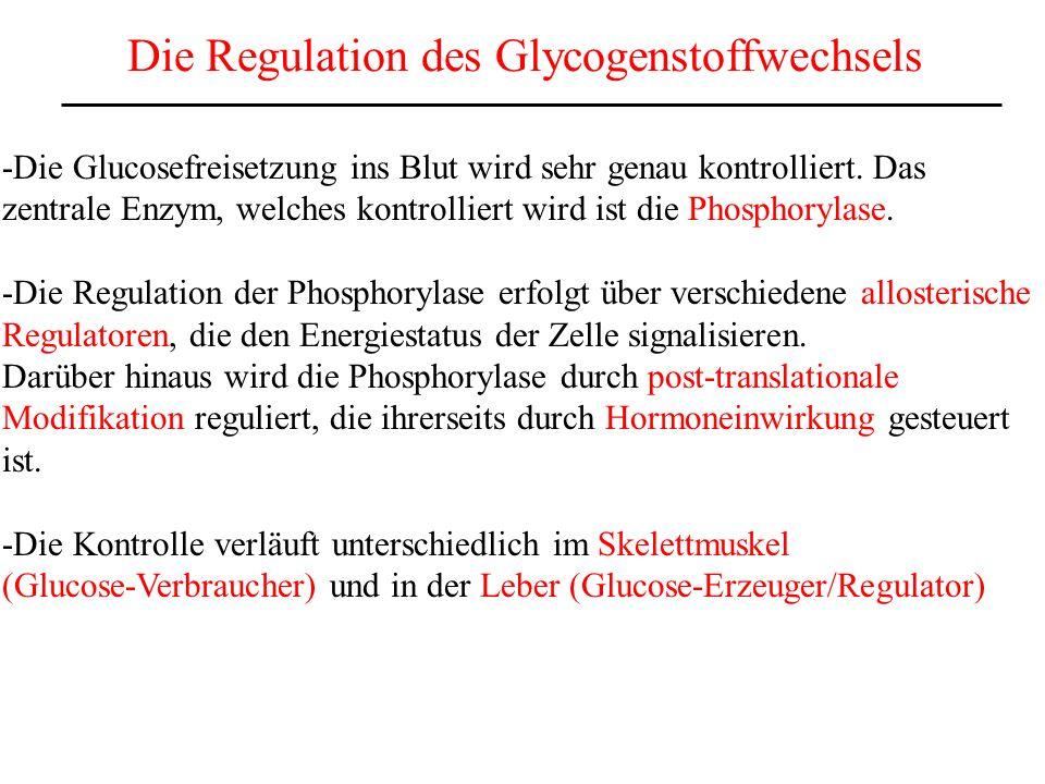 Die Regulation des Glycogenstoffwechsels