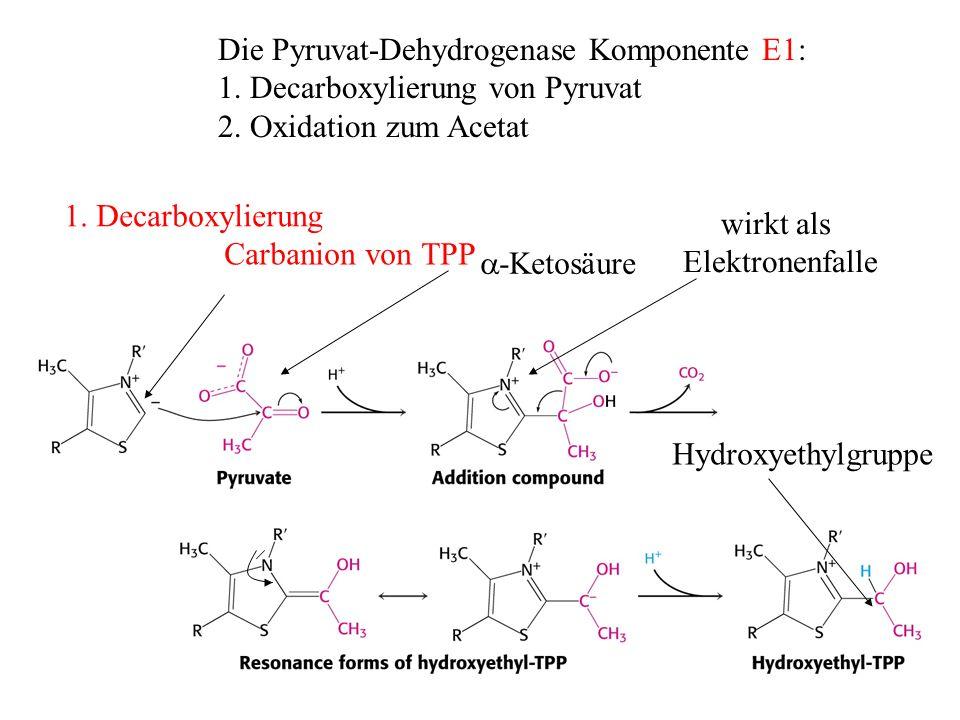 Die Pyruvat-Dehydrogenase Komponente E1: