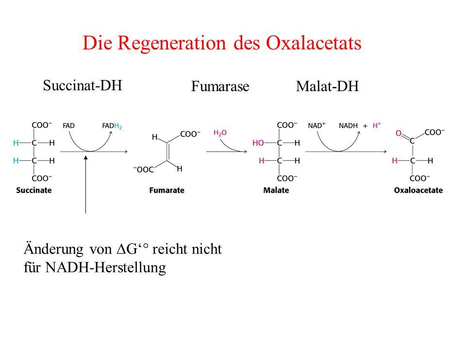 Die Regeneration des Oxalacetats