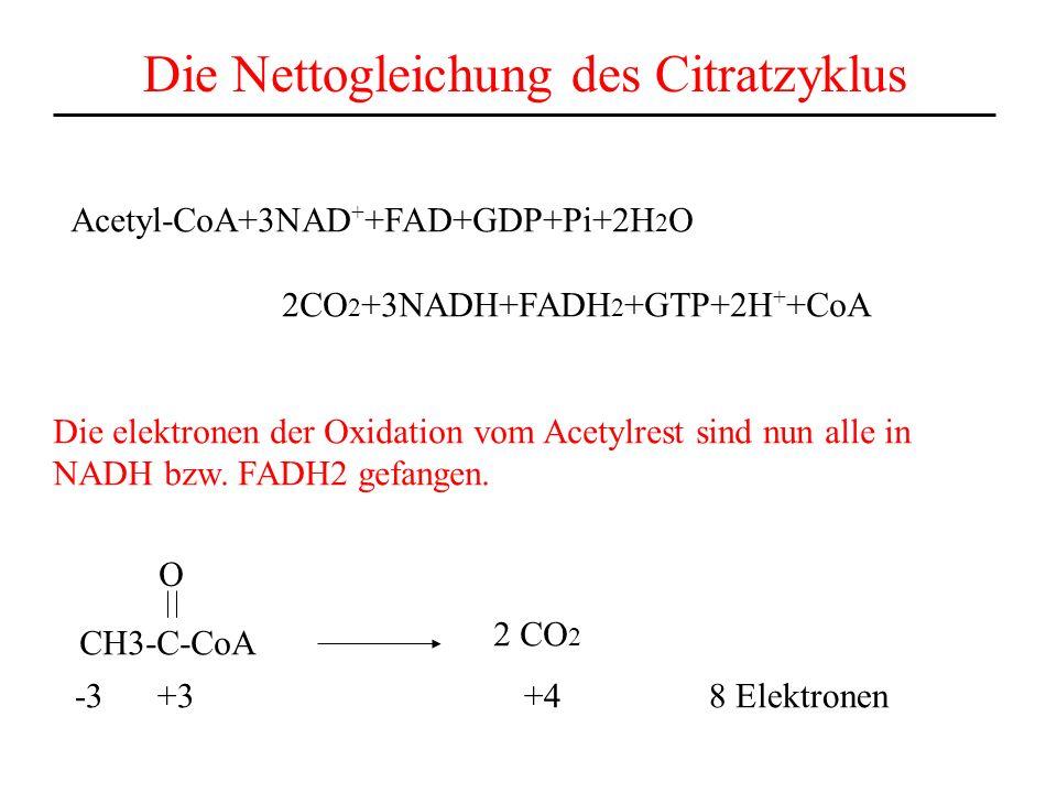 Die Nettogleichung des Citratzyklus