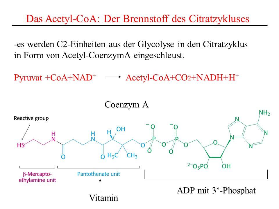 Das Acetyl-CoA: Der Brennstoff des Citratzykluses