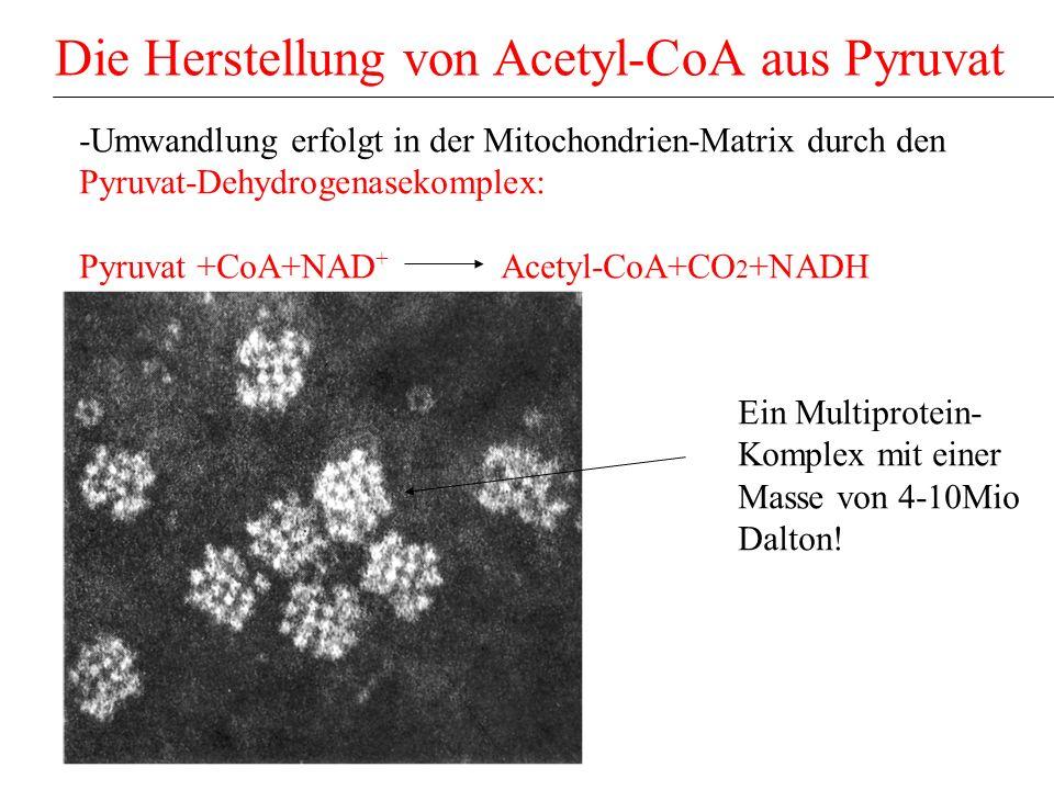 Die Herstellung von Acetyl-CoA aus Pyruvat
