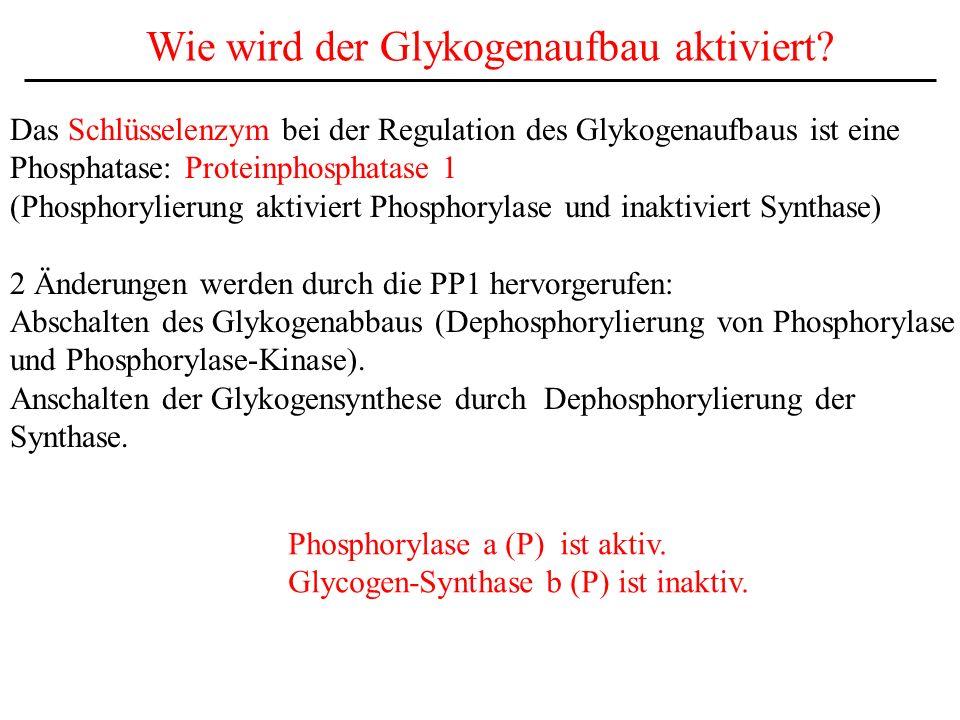 Wie wird der Glykogenaufbau aktiviert