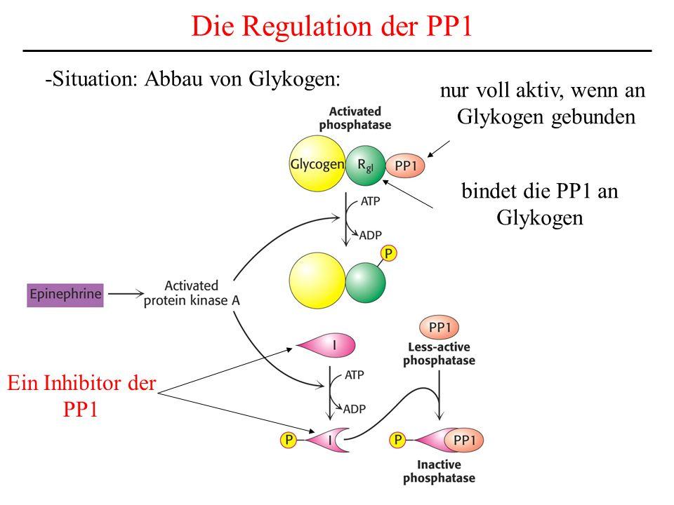 Die Regulation der PP1 -Situation: Abbau von Glykogen: