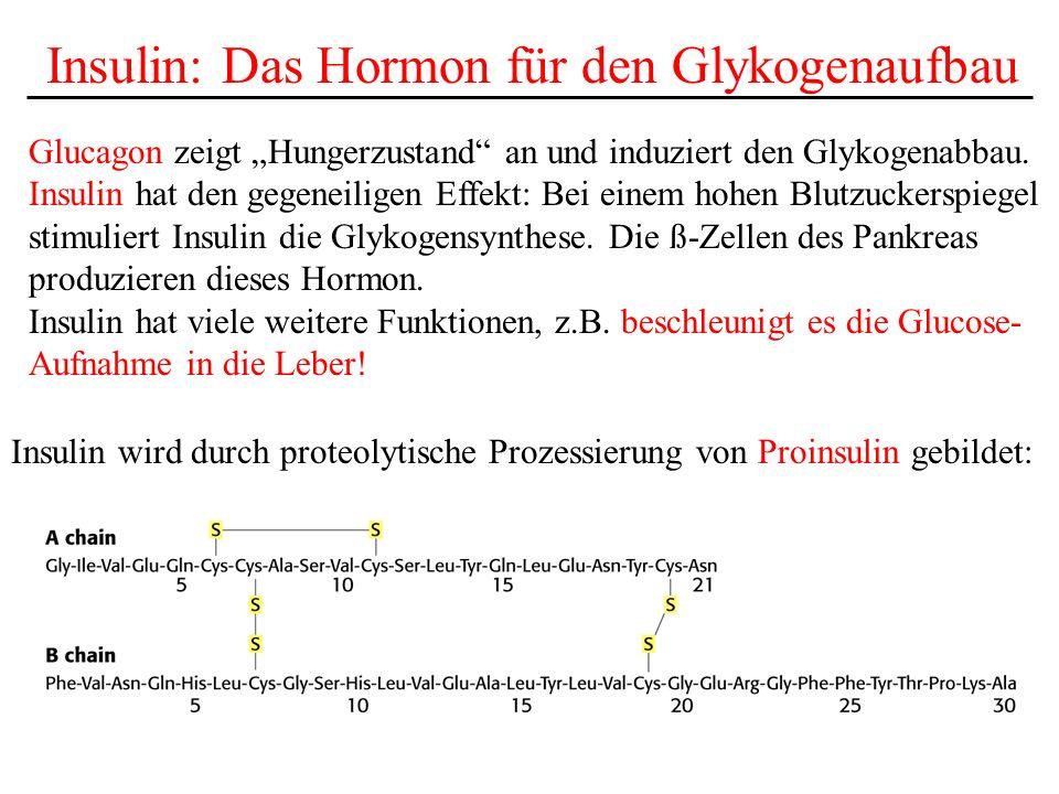 Insulin: Das Hormon für den Glykogenaufbau