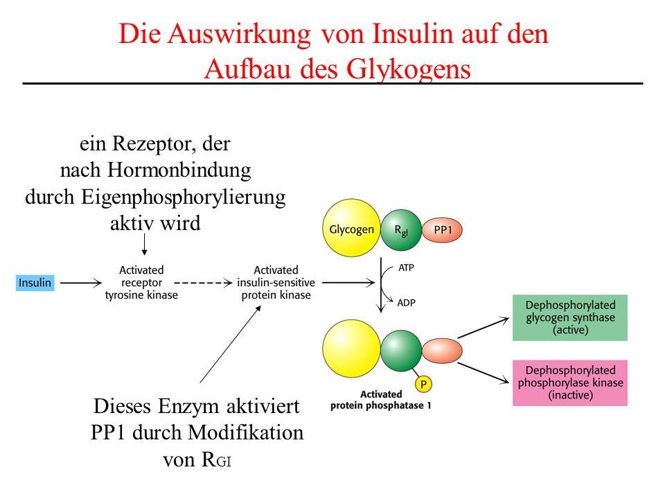 Die Auswirkung von Insulin auf den Aufbau des Glykogens