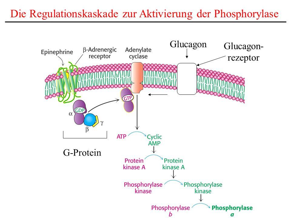 Die Regulationskaskade zur Aktivierung der Phosphorylase