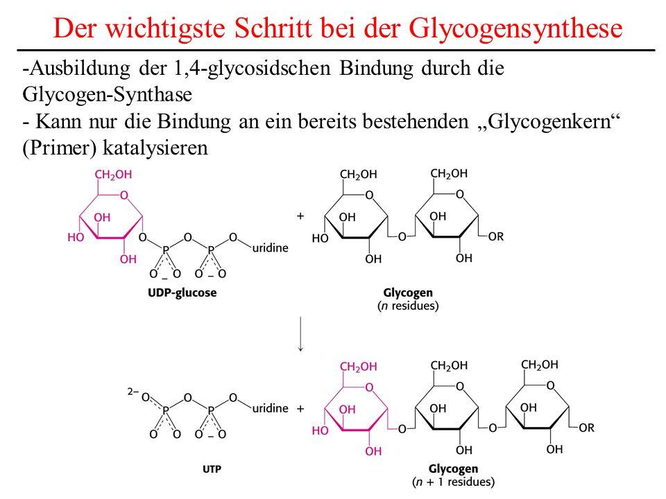 Der wichtigste Schritt bei der Glycogensynthese