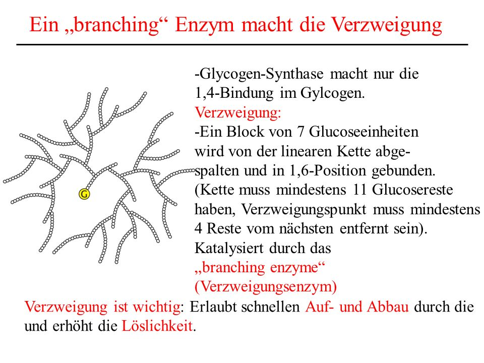 """Ein """"branching Enzym macht die Verzweigung"""