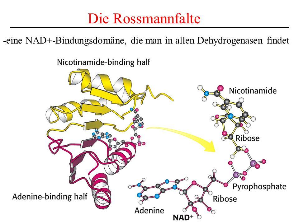 Die Rossmannfalte -eine NAD+-Bindungsdomäne, die man in allen Dehydrogenasen findet