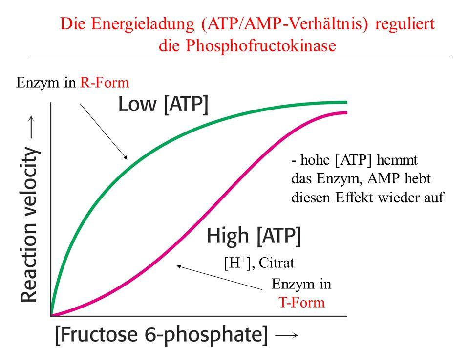 Die Energieladung (ATP/AMP-Verhältnis) reguliert