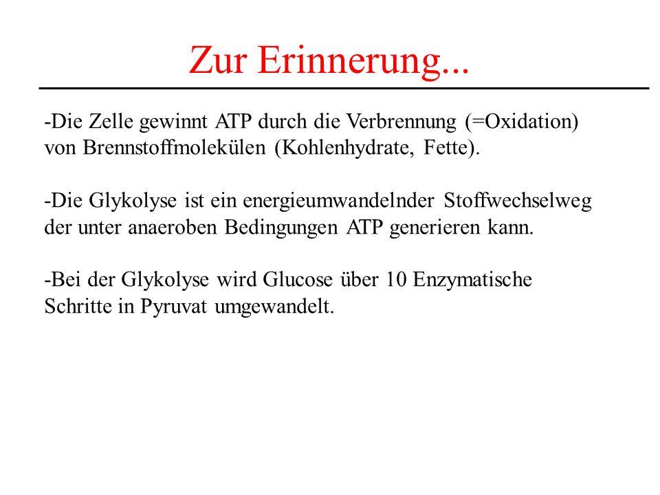 Zur Erinnerung... -Die Zelle gewinnt ATP durch die Verbrennung (=Oxidation) von Brennstoffmolekülen (Kohlenhydrate, Fette).