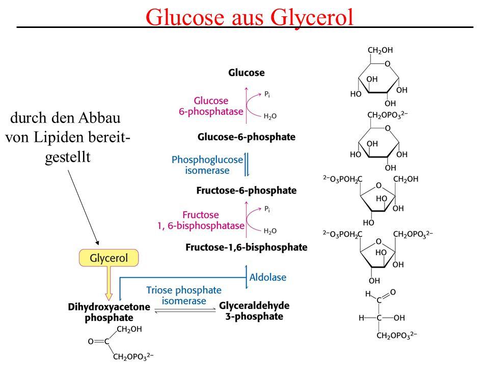 Glucose aus Glycerol durch den Abbau von Lipiden bereit- gestellt