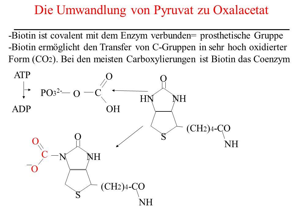 Die Umwandlung von Pyruvat zu Oxalacetat