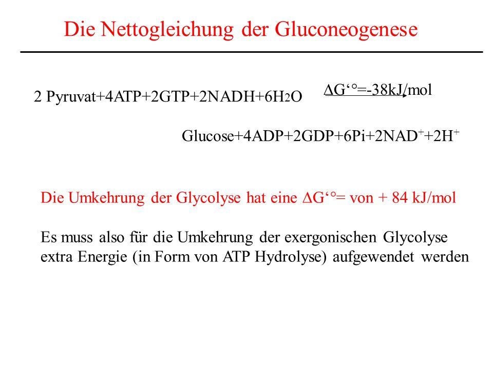 Die Nettogleichung der Gluconeogenese