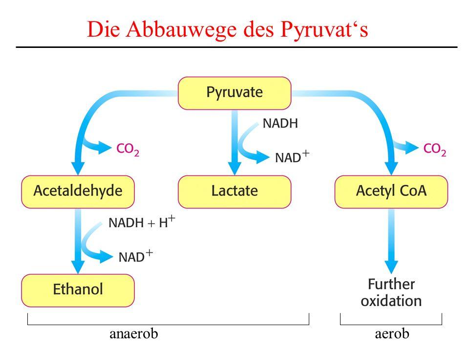 Die Abbauwege des Pyruvat's