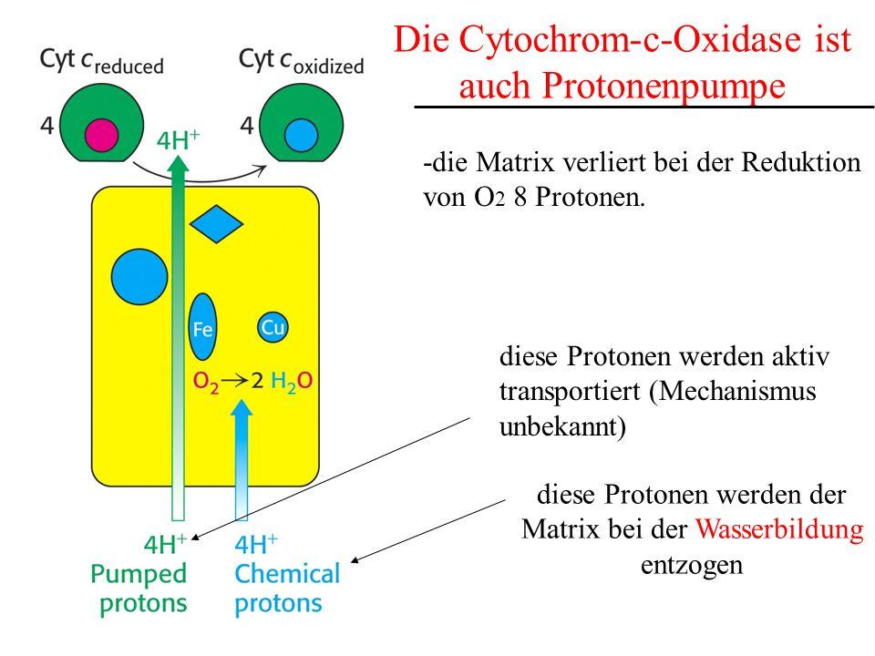 Die Cytochrom-c-Oxidase ist auch Protonenpumpe