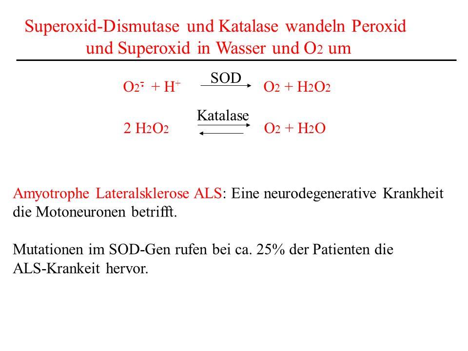 Superoxid-Dismutase und Katalase wandeln Peroxid