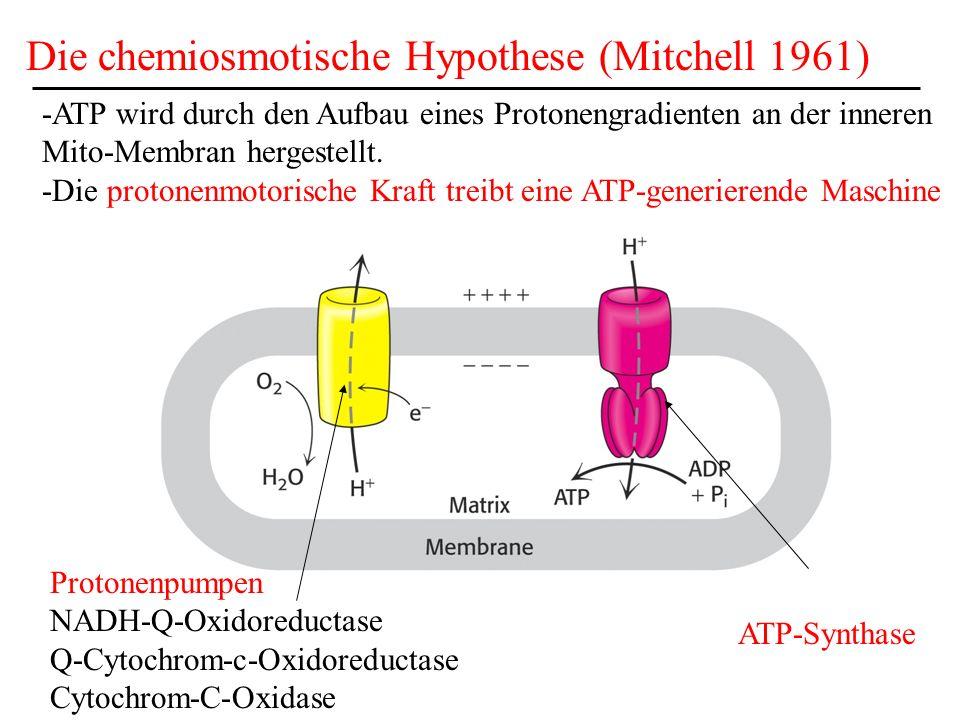 Die chemiosmotische Hypothese (Mitchell 1961)