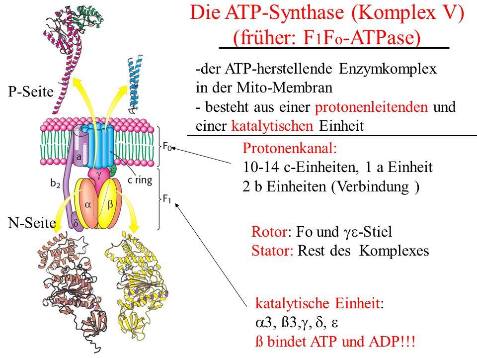 Die ATP-Synthase (Komplex V)