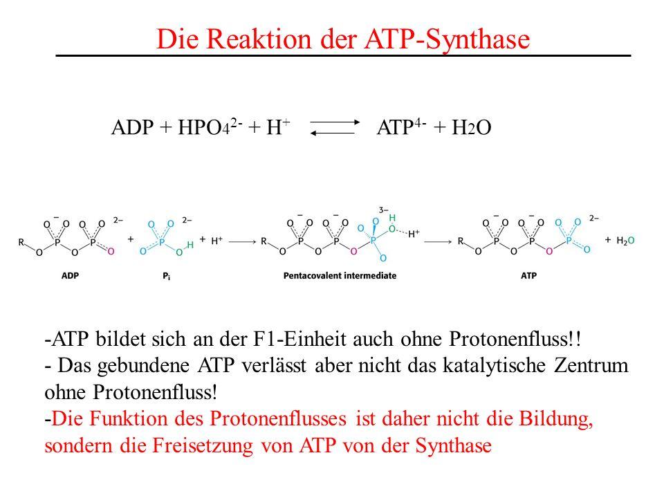Die Reaktion der ATP-Synthase