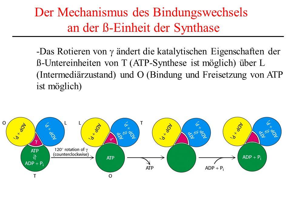 Der Mechanismus des Bindungswechsels an der ß-Einheit der Synthase