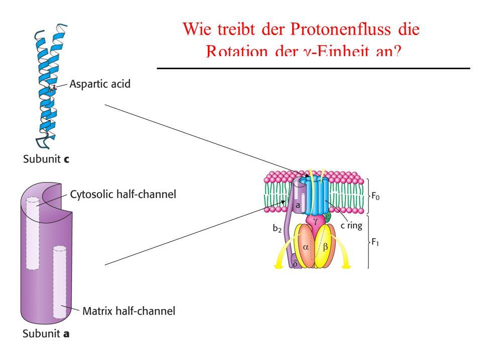 Wie treibt der Protonenfluss die Rotation der g-Einheit an
