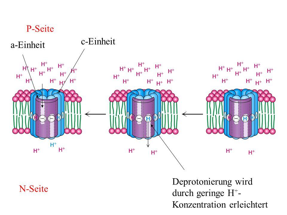 P-Seite c-Einheit a-Einheit Deprotonierung wird durch geringe H+- Konzentration erleichtert N-Seite
