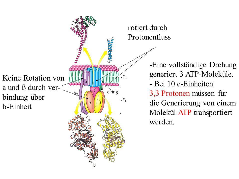 rotiert durch Protonenfluss. -Eine vollständige Drehung. generiert 3 ATP-Moleküle. - Bei 10 c-Einheiten: