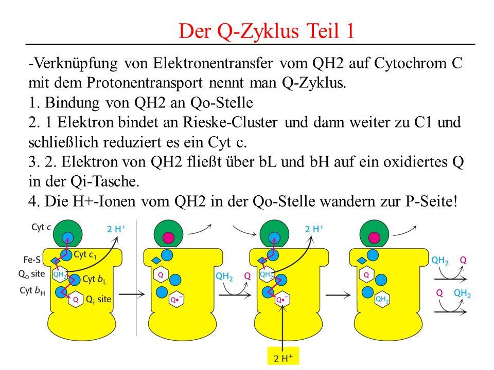 Der Q-Zyklus Teil 1 -Verknüpfung von Elektronentransfer vom QH2 auf Cytochrom C. mit dem Protonentransport nennt man Q-Zyklus.