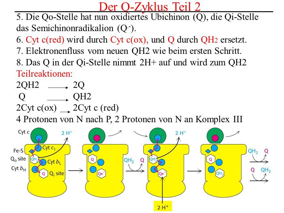 Der Q-Zyklus Teil 25. Die Qo-Stelle hat nun oxidiertes Ubichinon (Q), die Qi-Stelle. das Semichinonradikalion (Q.-).