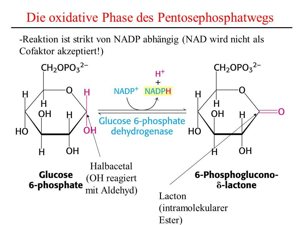 Die oxidative Phase des Pentosephosphatwegs