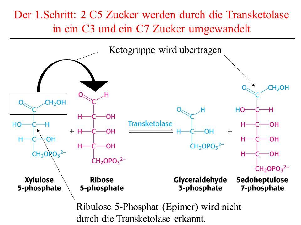 Der 1.Schritt: 2 C5 Zucker werden durch die Transketolase