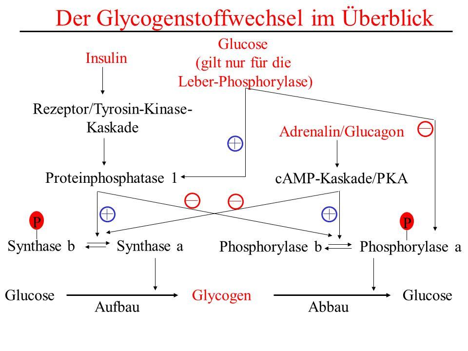 Der Glycogenstoffwechsel im Überblick