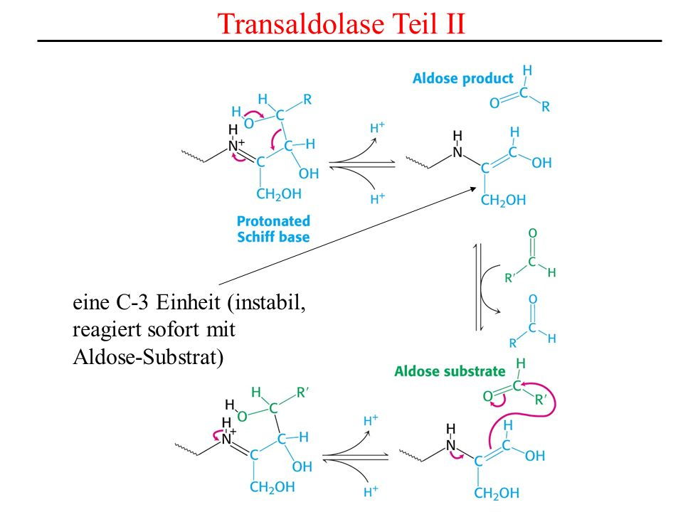 Transaldolase Teil II eine C-3 Einheit (instabil, reagiert sofort mit