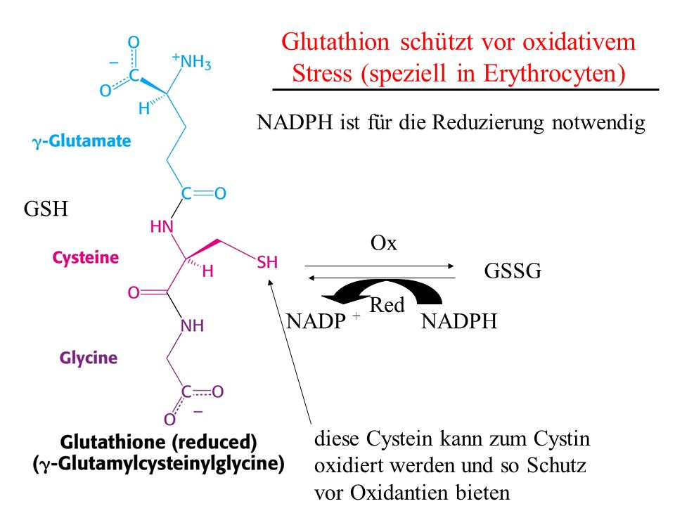 Glutathion schützt vor oxidativem Stress (speziell in Erythrocyten)