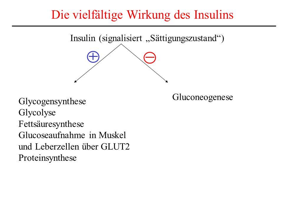 Die vielfältige Wirkung des Insulins