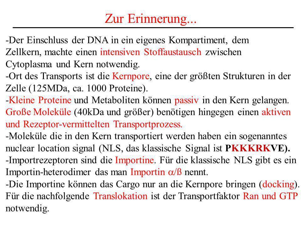 Zur Erinnerung... -Der Einschluss der DNA in ein eigenes Kompartiment, dem. Zellkern, machte einen intensiven Stoffaustausch zwischen.