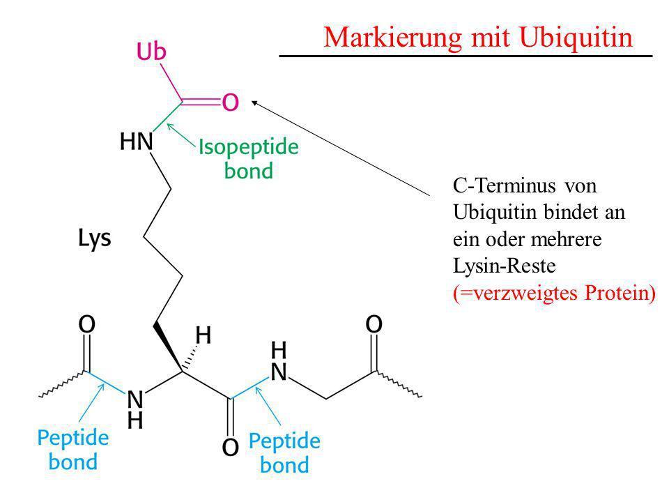 Markierung mit Ubiquitin
