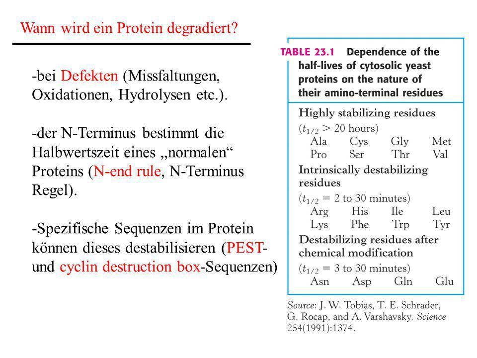 Wann wird ein Protein degradiert