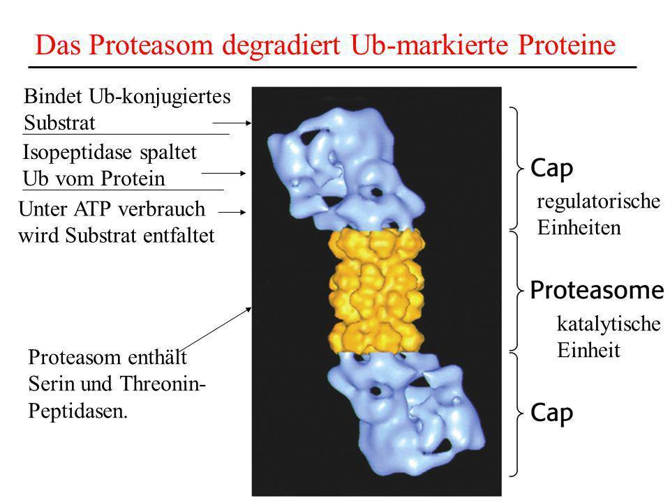 Das Proteasom degradiert Ub-markierte Proteine