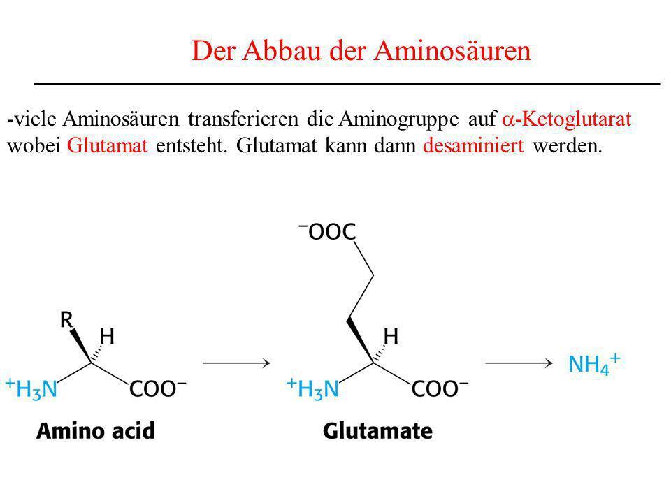 Der Abbau der Aminosäuren