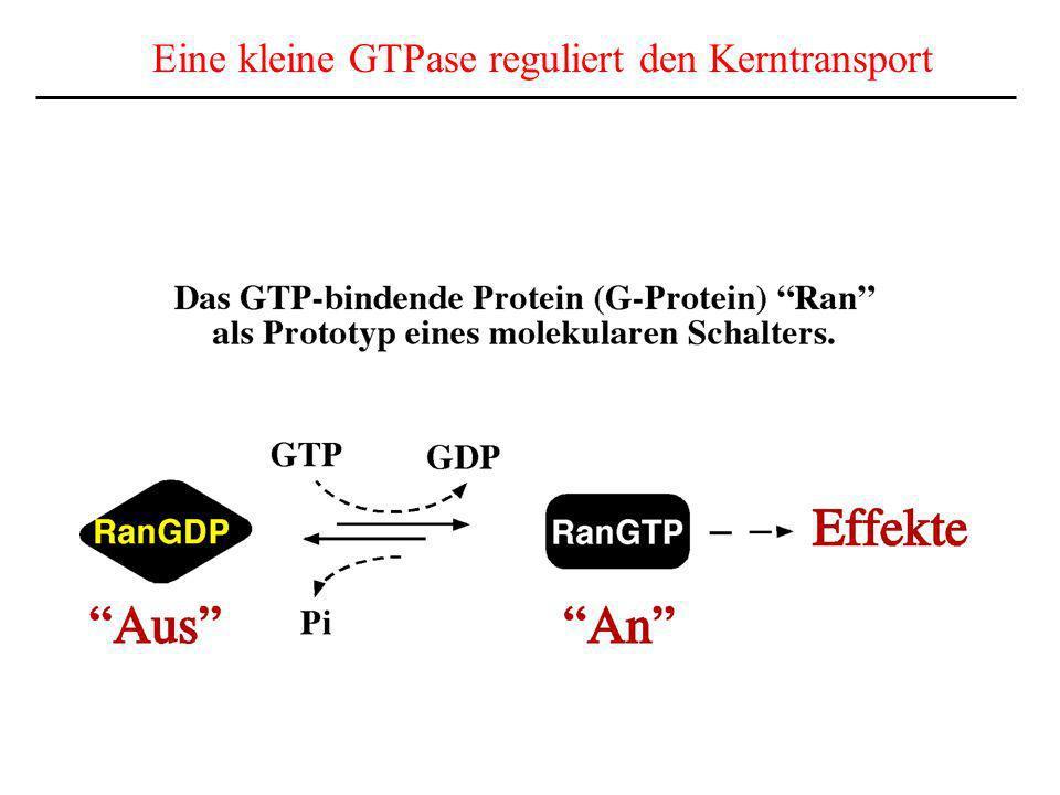 Eine kleine GTPase reguliert den Kerntransport