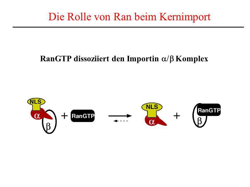 Die Rolle von Ran beim Kernimport