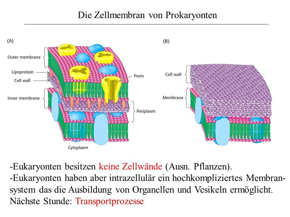Die Zellmembran von Prokaryonten