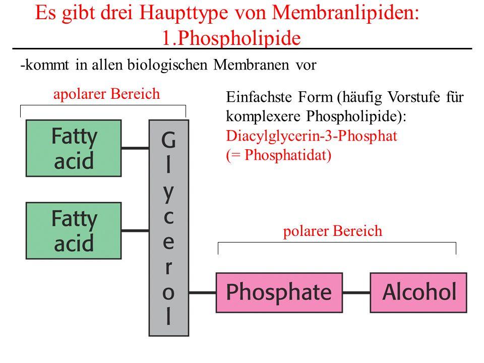 Es gibt drei Haupttype von Membranlipiden: