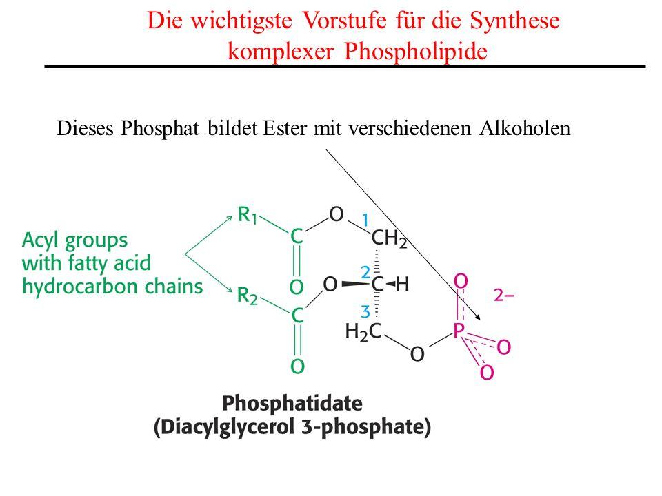 Die wichtigste Vorstufe für die Synthese komplexer Phospholipide